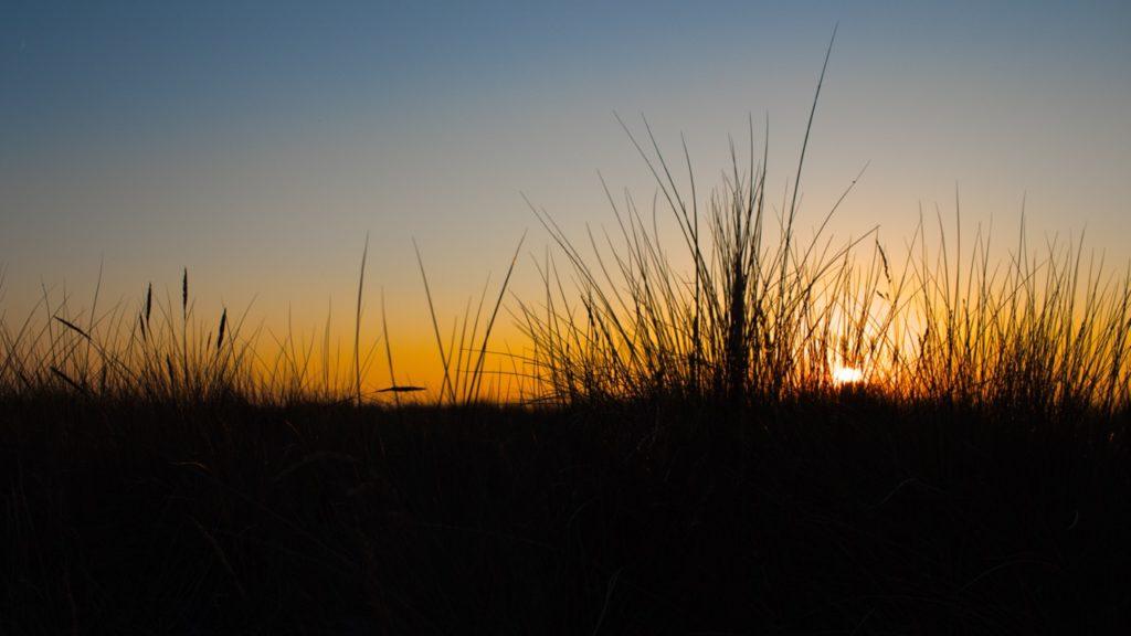 Sunset dune weeds